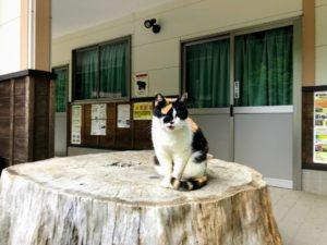 日影沢キャンプ場の三毛猫